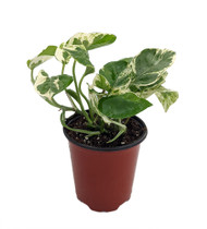 "N Joy Pothos - Epipremnum aureum - 3.5"" Pot - Good in Low Light"
