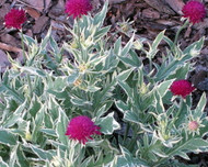 "Thunder & Lightning Knautia - Easy to Grow Perennial - 3"" Pot"