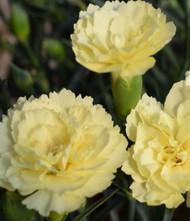 Odessa Yellow Bling Bling Dianthus - Very Fragrant - Quart Pot