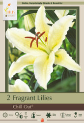 Chill Out Oriental Lily -  2 Bulbs 16/18 cm - Huge Flowers