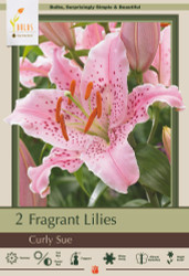 Curly Sue Oriental Lily 2 Bulbs 16/18 cm - Soft Pink Speckled Red
