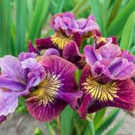 "Peacock Butterfly™  Siberian Iris - Miss Apple - 4"" Pot"