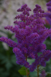"Black Pearls Astilbe - Shade Perennial - False Spirea - 4"" Pot"