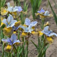 "Peacock Butterfly™ Uncorked Siberian Iris - 4"" Pot"