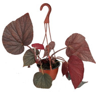 """Big Red Leaf Begonia Plant - 6"""" Hanging Pot -Easy to Grow Indoor/Out-Rhizomatous"""