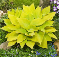 "Sunny Halcyon Hosta - Bright Yellow Leaves - 4"" Pot"