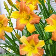 "EveryDaylily® Punch Yellow Perennial - Hemerocallis - Rebloomer - 4"" Pot"