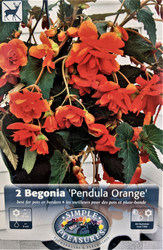 Pendula Orange Hanging Begonia 2 Bulbs 5/6 cm