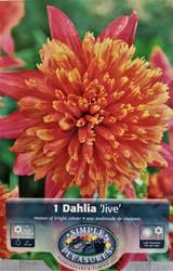 Jive Powder-Puff/Anemone Dahlia 1 Root Clump - NEW