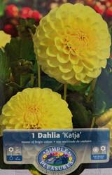 Katja Giant Ball Dahlia - 1 Root Clump - Buttery Yellow - #1 Size