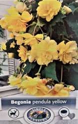 Pendula Yellow Begonia 2 Bulbs - 5/6cm Bulbs - Great in Hanging Baskets