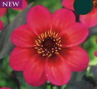 Dahlegria Tricolor Mignon Dahlia - Top Size Root Clump
