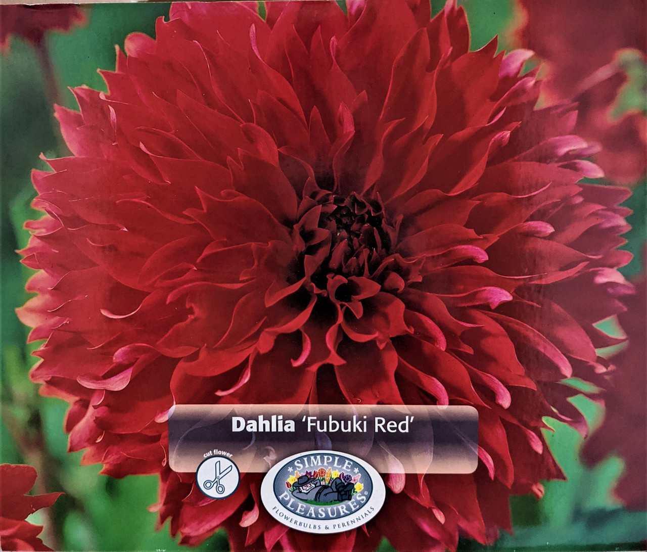 1 MYRTLE/'S FOLLY Dinnerplate Cactus Dahlia Blooming Size Bulb Tubers