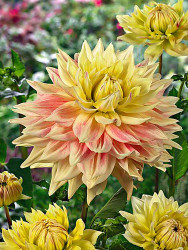 Advance Dinner Plate Dahlia - 2 Root Clumps -  #1 Size - Salmon Pink and Yellow