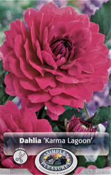 Karma Lagoon® Decorative Dahlia - Violet/Bright Pink - 1 Top Size Root Clump