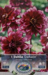 Darkarin Powder-Puff Dahlia - #1 Size Root Clump - Dark Red
