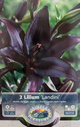 Landini Asiatic Lily - 2 Bulbs - Almost Black! - 14/16cm