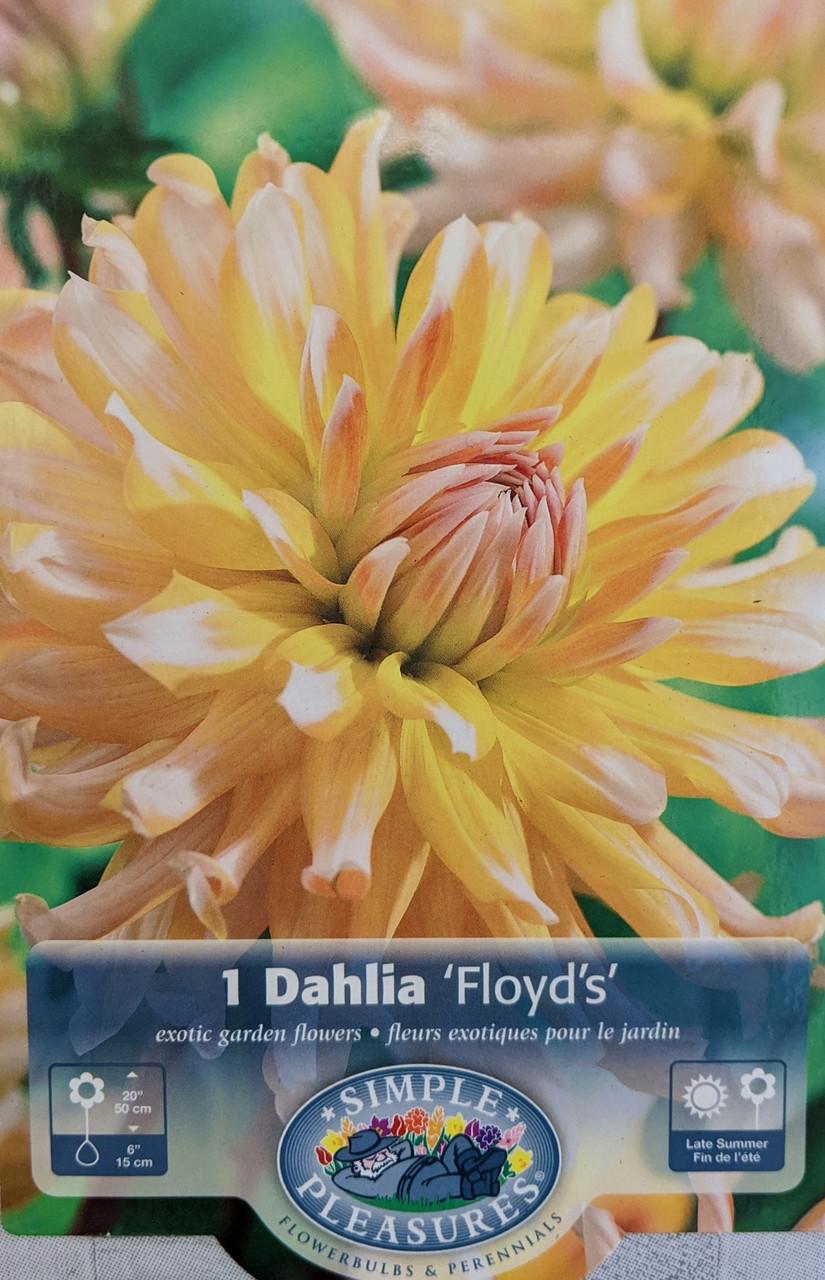 Floyd S Cactus Dahlia Tuber 1 Size Tuber Dahlia Of The Year