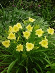 "Fragrant Reflection Daylily Perennial - Hemerocallis - Pale Yellow - 4"" Pot"