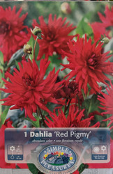 Red Pygmy Semi-cactus Dahlia - Large Flowering, Dwarf Size - #1 Size Root Clump