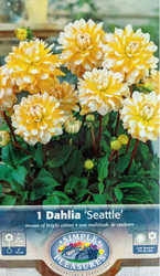 Seattle Decorative Dahlia - Yellow & White Tips! - #1 Size Root Clump