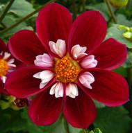 Mary Evelyn Collarette Flowered Dahlia - #1 Size Clump - NEW! - Burgundy
