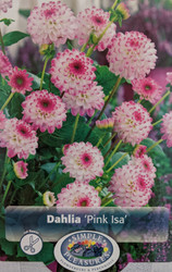 Pink Isa Decorative Dahlia - #1 Size Root Clump - White with Pink Tips
