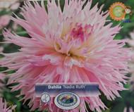 Nadia Ruth Fubuki Dahlia - Dinnerplate Fimbriata Flower - #1 Size Root Clump
