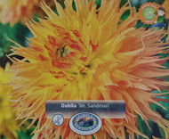 Mr. Sandman Fubuki Dahlia -Huge Dinnerplate Fimbriata Flower- #1 Size Root Clump