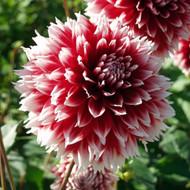 Red & White Fubuki Dahlia - #1 Size Bulb Clump