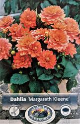 Margareth Kleene Dwarf Dahlia - #1 Size Root Clump - Peachy!