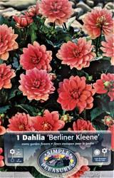Berliner Kleene Border Dahlia - #1 Size Root Clump - Bright Pink Blooms!