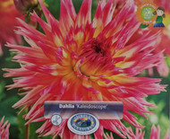 Kaleidoscope Dinner Plate Dahlias - 2 Root Clumps - Pink and Yellow Bicolor