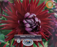 "Gerry Scott Cactus Dahlia 2 Root Clumps - #1 Size - 8 to 10"" Garnet Red Flowers"