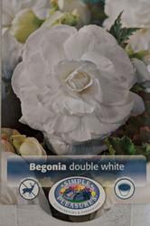 Double White Begonia - 2 Bulbs -  5/6 cm