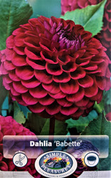 Babette Giant Ball Dahlia - 1 Root Clump - Lavender Pink! - #1 Size