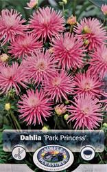Park Princess Cactus Dahlia - Cotton Candy Pink! - #1 Size Root Clump