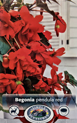 Pendula Red Begonia 2 Bulbs - 5/6 cm - Great in Hanging Baskets