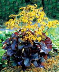 Midnight Lady Rocket Plant - Ligularia - Shade Perennial - Gallon Pot