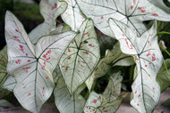 """Strawberry Star Caladium Plant - Freshly Potted Bulb in 4"""" Pot- Indoors/Out"""