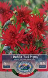 Red Pigmy Cactus Dahlia Tuber - Scarlet Red