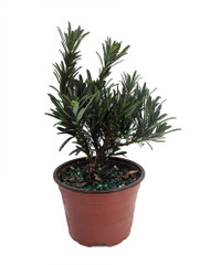 "Buddhist Pine Tree - Bonsai/Houseplant - Podocarpus - 4"" pot"