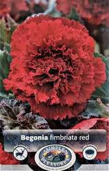 Red Carnation Begonia fimbriata - 2 Bulbs 5/6 cm