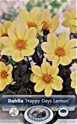 Lemon Happy Days Dark Leaf Dahlia - 1 Root Clump - Almost Black Foliage - New