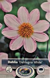 White Dahlegria Dark Leaf Dahlia - 1 Root Clump - Almost Black Foliage