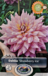 Strawberry Ice Dinnerplate Dahlia - Pink/Yellow - #1 Size Root Clump - New