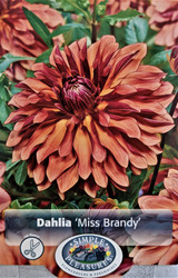 Miss Brandy Decorative Dahlia - Wine Red Buds - #1 Size Root Clump - New