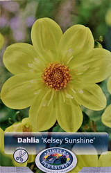 Kelsey Sunshine Anemone Flowering Dahlia - #1 Size Root Clump - New