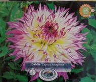 Caproz Josephine Dahlia -Huge Dinnerplate Fimbriata Flower- #1 Size Root Clump