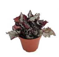 """Ballet Rex Begonia Plant - Magic Color Series -Trending House Plant-3"""" Pot"""